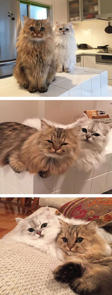 fluffy-cats-funny-animal-pics-15