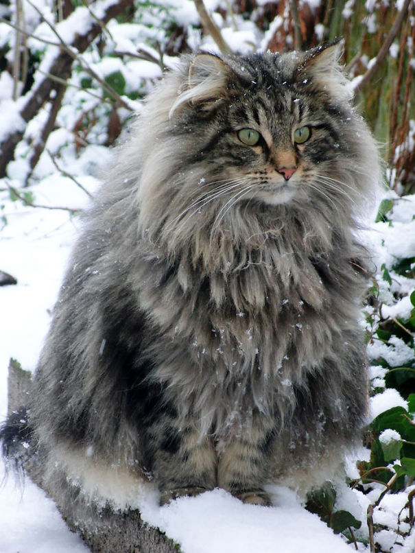 fluffy-cats-funny-animal-pics-2