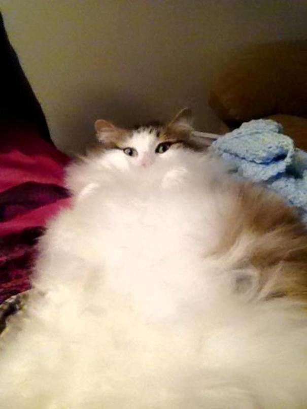 fluffy-cats-funny-animal-pics-23