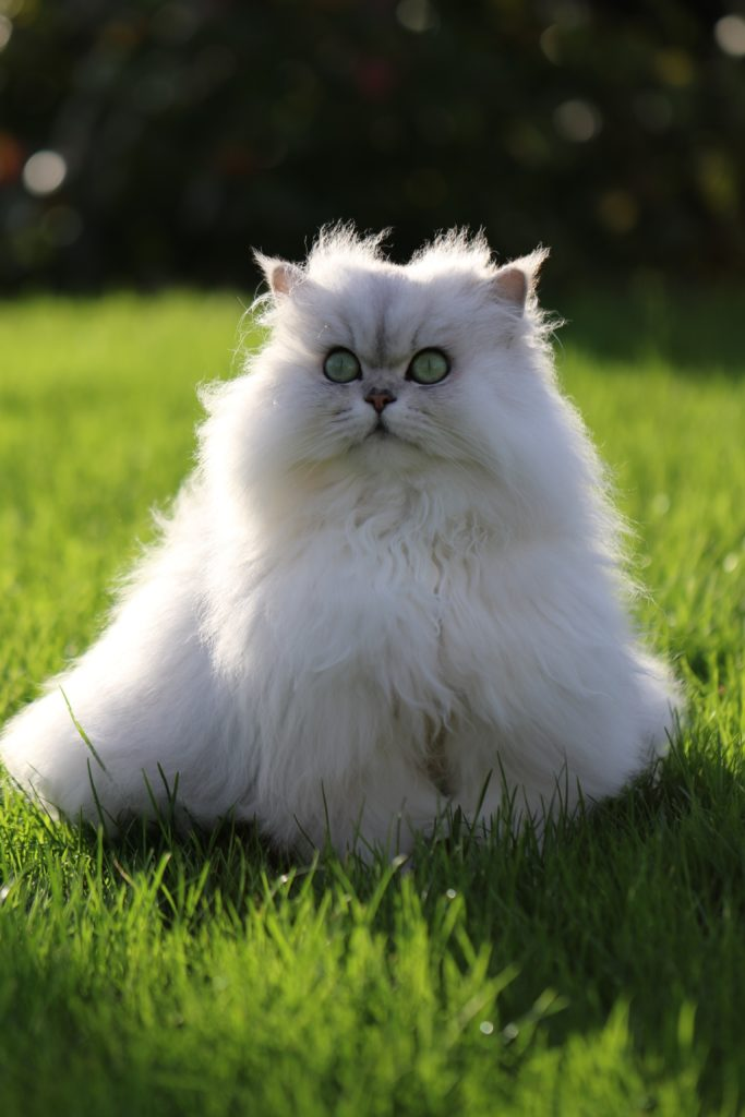 fluffy-cats-funny-animal-pics-32
