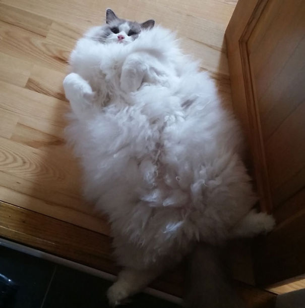 fluffy-cats-funny-animal-pics-5