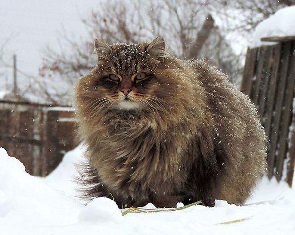 fluffy-cats-funny-animal-pics-6