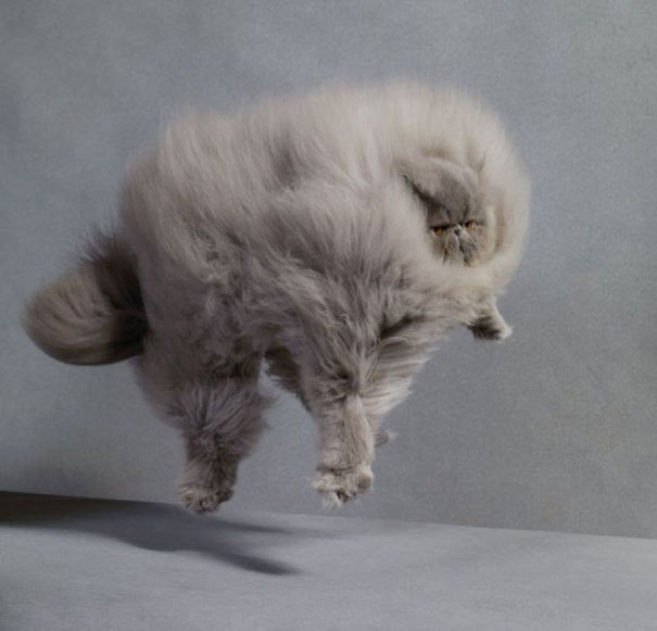 fluffy-cats-funny-animal-pics-7