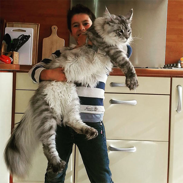 maine-coon-cats-1
