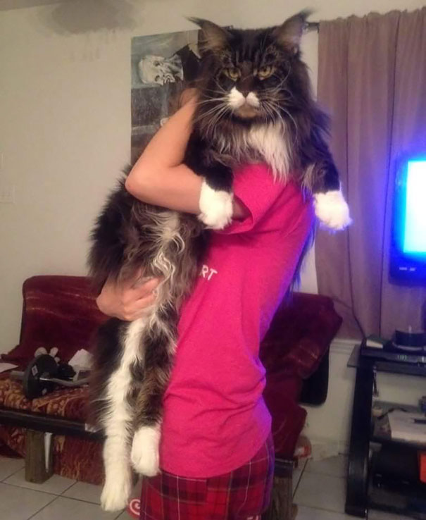 maine-coon-cats-10