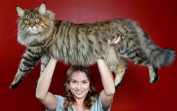 maine-coon-cats-12