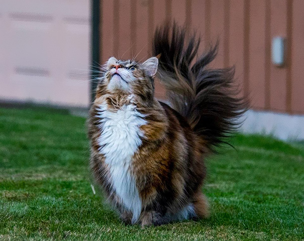maine-coon-cats-16