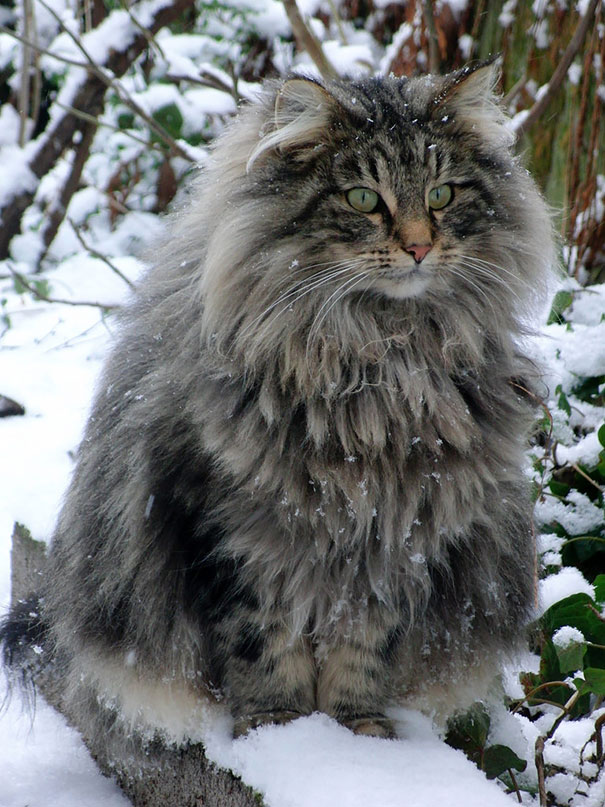 maine-coon-cats-2