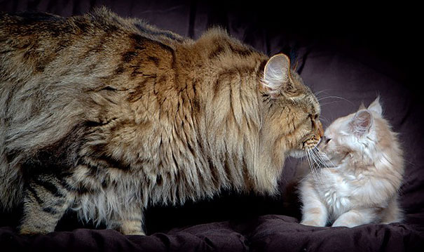 maine-coon-cats-20