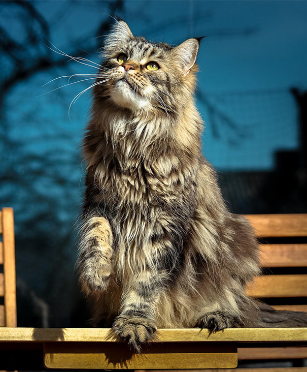 maine-coon-cats-21