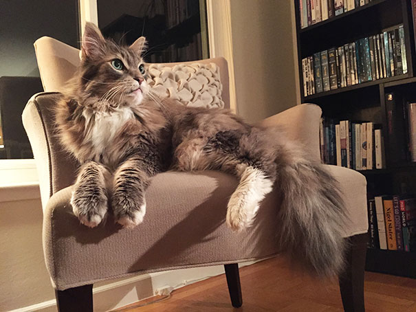 maine-coon-cats-24