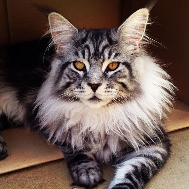 maine-coon-cats-3