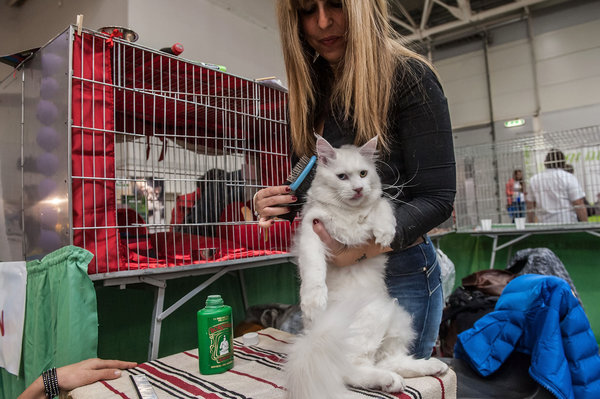 ROME, ITALY - OCTOBER 31: A cat gets ready as he waits to be examined by the jury during the Super Cat Show 2015 on October 31, 2015 in Rome, Italy. The Super Cat Show, which takes place at Fiera di Roma every year, involves the participation of 800 cats of different breeds from all over the world. (Photo by Giorgio Cosulich/Getty Images)