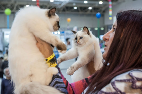 ROME, ITALY - OCTOBER 31: Two cats are examined by the jury during the Super Cat Show 2015 on October 31, 2015 in Rome, Italy. The Super Cat Show, which takes place at Fiera di Roma every year, involves the participation of 800 cats of different breeds from all over the world. (Photo by Giorgio Cosulich/Getty Images)