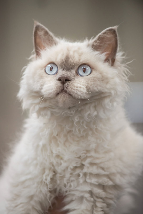 ROME, ITALY - OCTOBER 31: A Selkirk Rex cat, a new breed of cats, waits to be examined by the jury during the Super Cat Show 2015 on October 31, 2015 in Rome, Italy. The Super Cat Show, which takes place at Fiera di Roma every year, involves the participation of 800 cats of different breeds from all over the world. (Photo by Giorgio Cosulich/Getty Images)