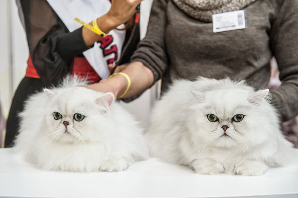ROME, ITALY - OCTOBER 31: Two Blue Russian cats are examined by the jury during the Super Cat Show 2015 on October 31, 2015 in Rome, Italy. The Super Cat Show, which takes place at Fiera di Roma every year, involves the participation of 800 cats of different breeds from all over the world. (Photo by Giorgio Cosulich/Getty Images)