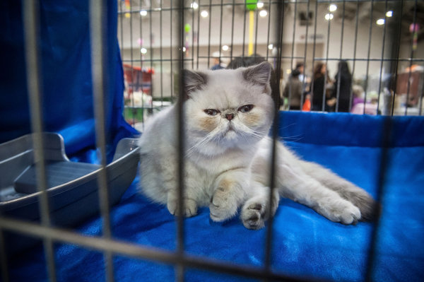 ROME, ITALY - OCTOBER 31: A Persian  cat is kept in a cage during the Super Cat Show 2015 on October 31, 2015 in Rome, Italy. The Super Cat Show 2015, which takes place at Fiera di Roma every year, involves the participation of 800 cats of different breeds from all over the world. (Photo by Giorgio Cosulich/Getty Images)