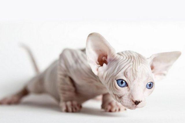 sphynx-cat-fun-12