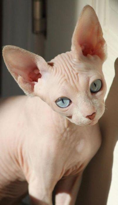 sphynx-cat-fun-2