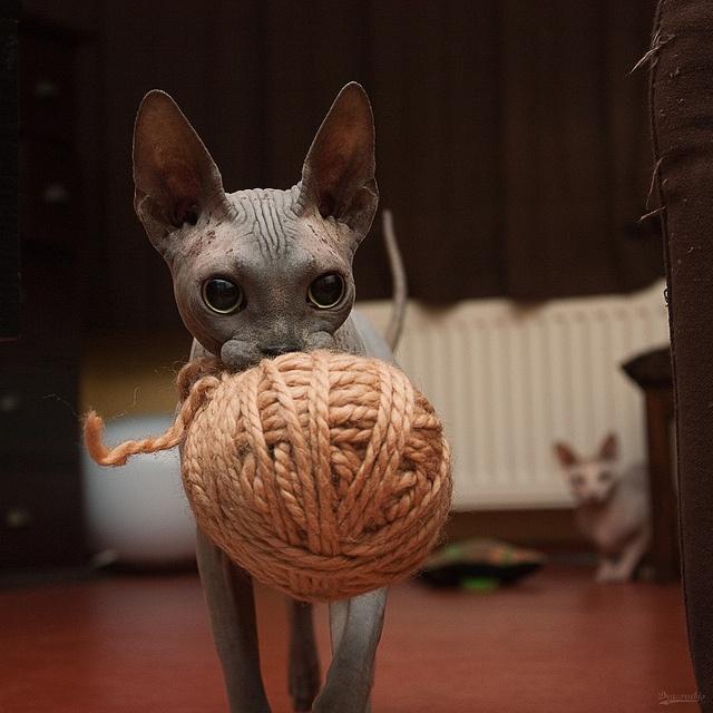 sphynx-cat-fun-4