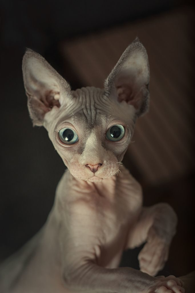 sphynx-cat-fun-7
