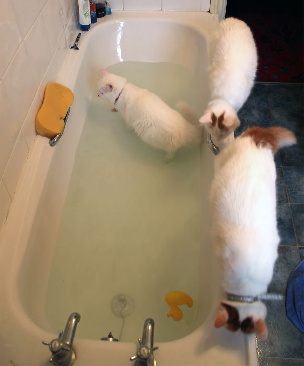 Cats-That-Love-Water-23
