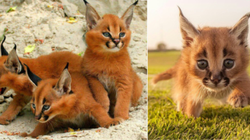 Featured-Caracals-cutest-wild-cat-fb