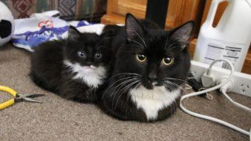 mini-me-cat-1