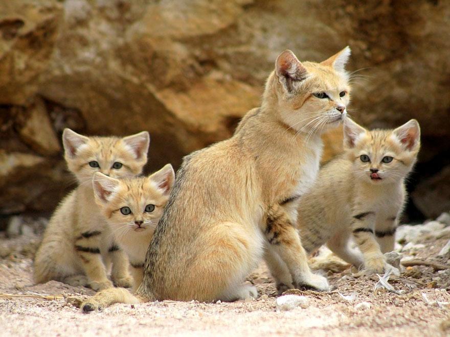 sand-cats-kittens-forever-3