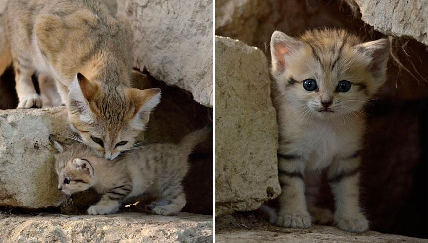sand-cats-kittens-forever-4