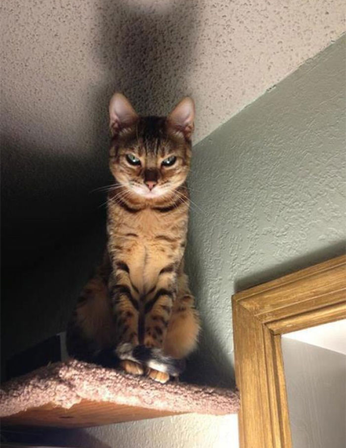 Angriest-Looking-Cats-11