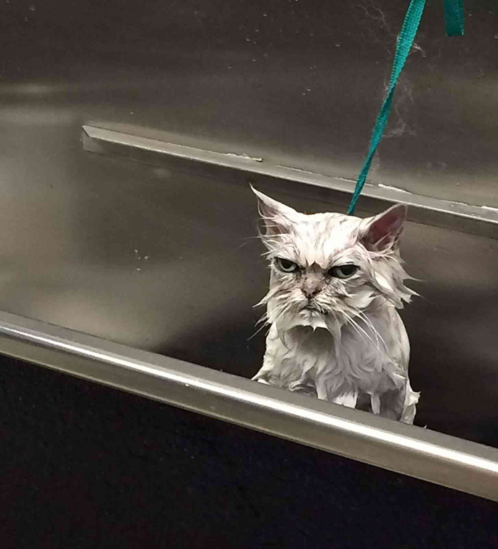 Angriest-Looking-Cats-13