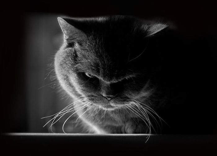 Angriest-Looking-Cats-16