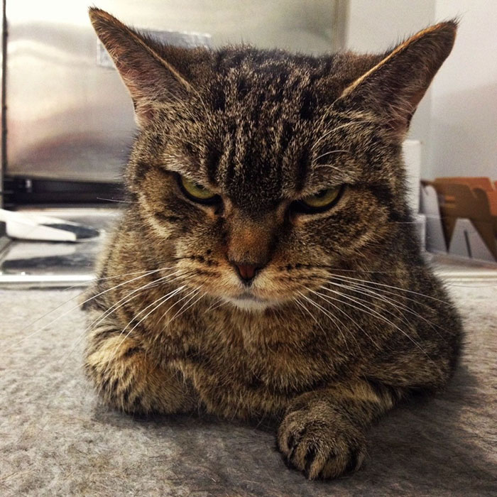 Angriest-Looking-Cats-18