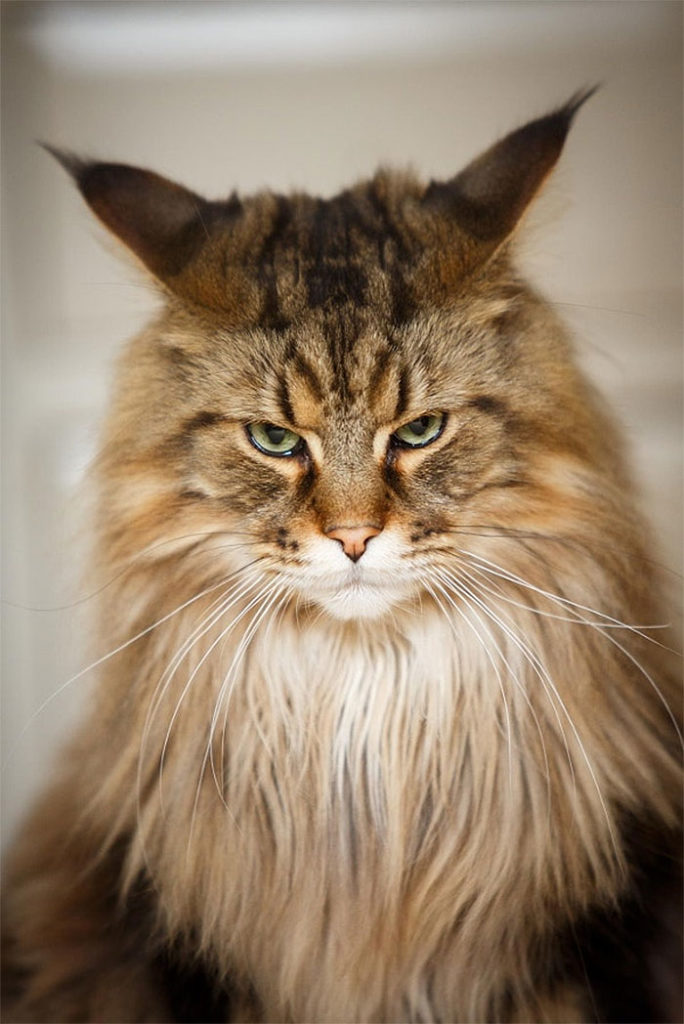 Angriest-Looking-Cats-19