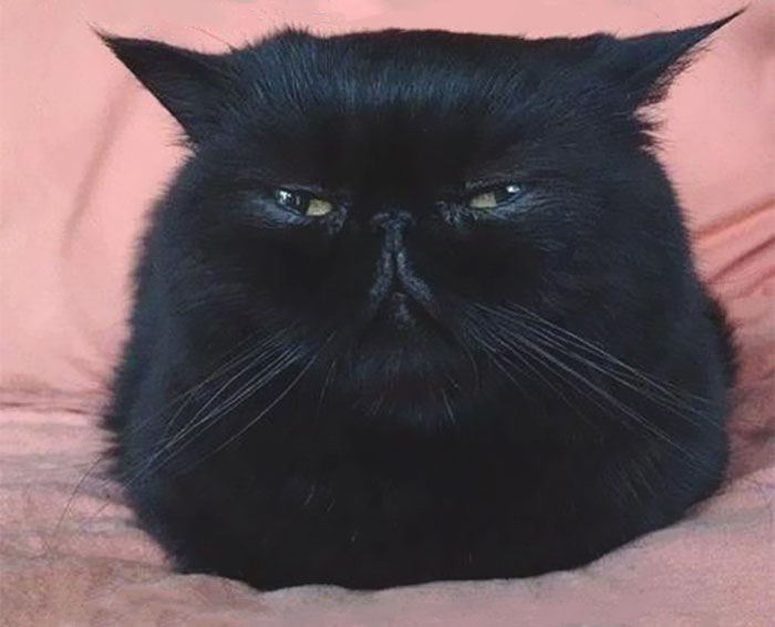 Angriest-Looking-Cats-21