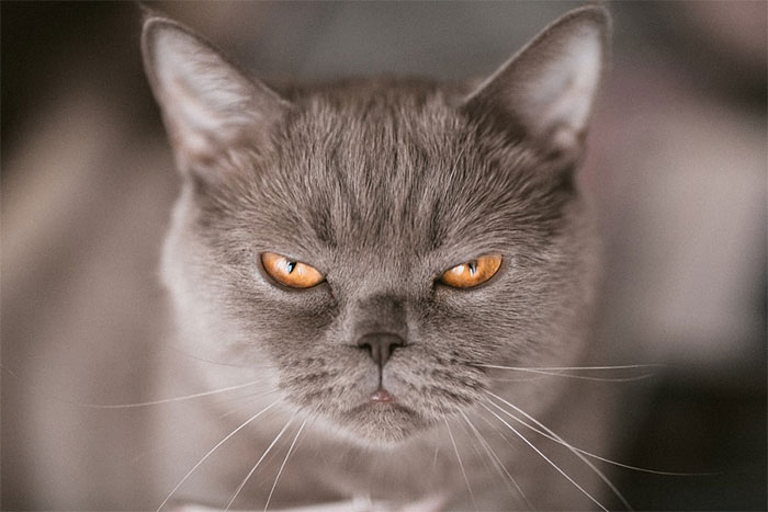 Angriest-Looking-Cats-27