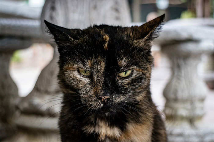 Angriest-Looking-Cats-28