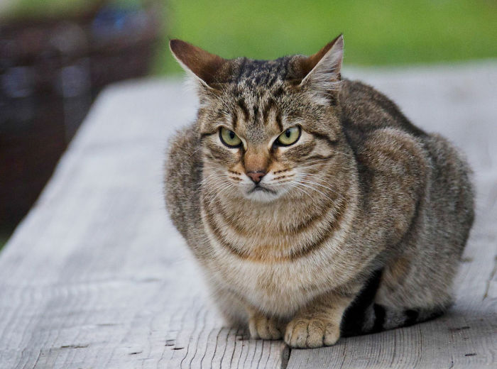 Angriest-Looking-Cats-30