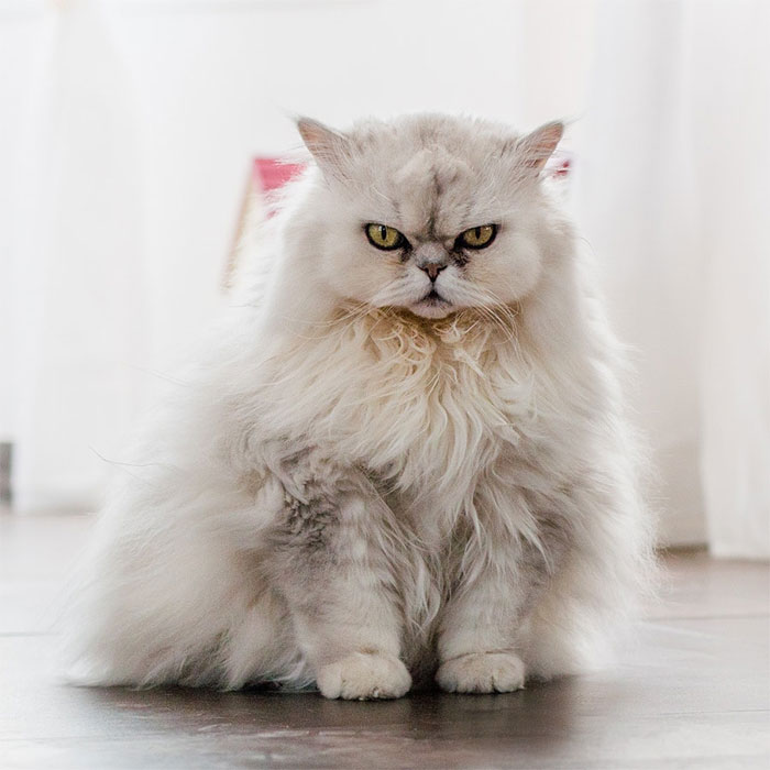 Angriest-Looking-Cats-31