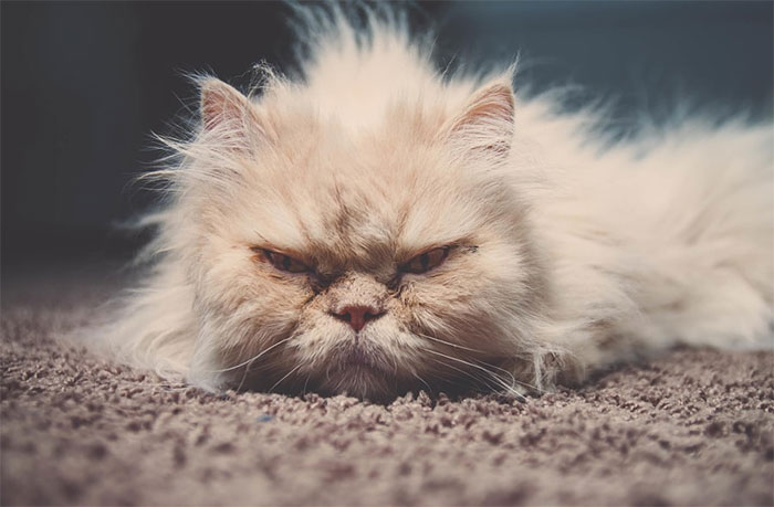 Angriest-Looking-Cats-32