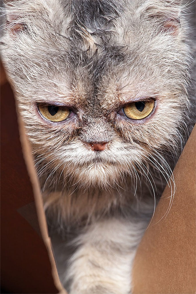 Angriest-Looking-Cats-33