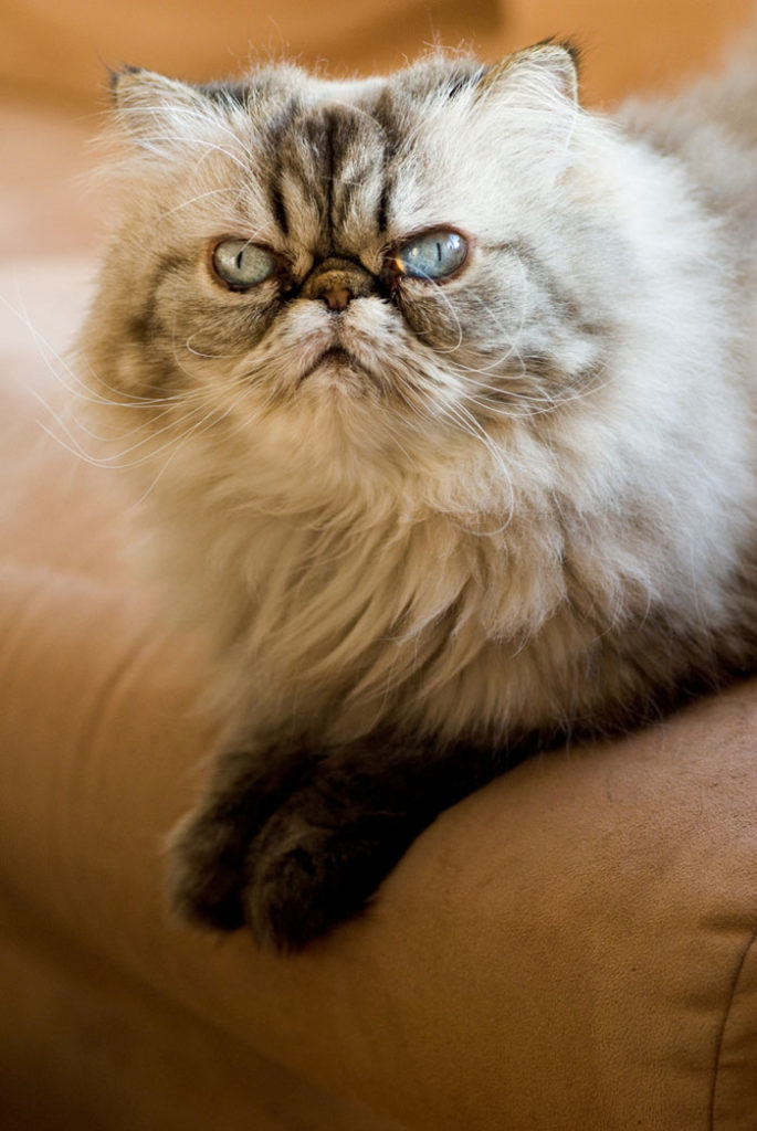 Angriest-Looking-Cats-35