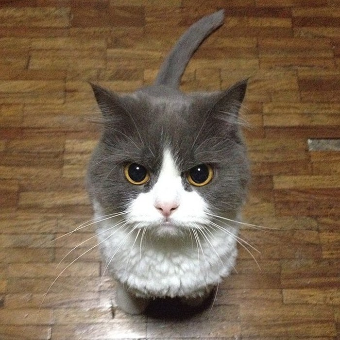 Angriest-Looking-Cats-4