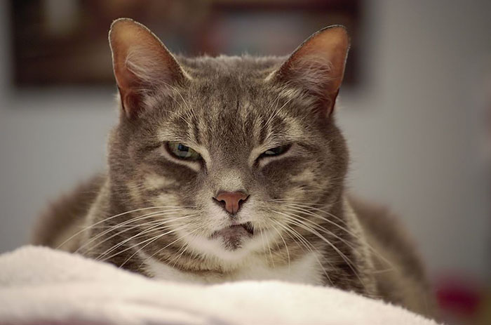 Angriest-Looking-Cats-5