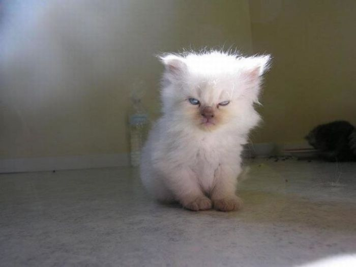 Angriest-Looking-Cats-8