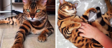bengal-cat-spots-fur-thor-fb