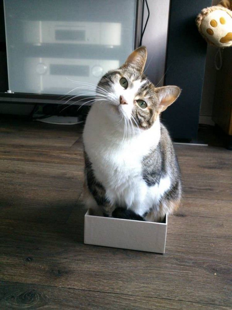 cat-refuses-boxes-too-small-16
