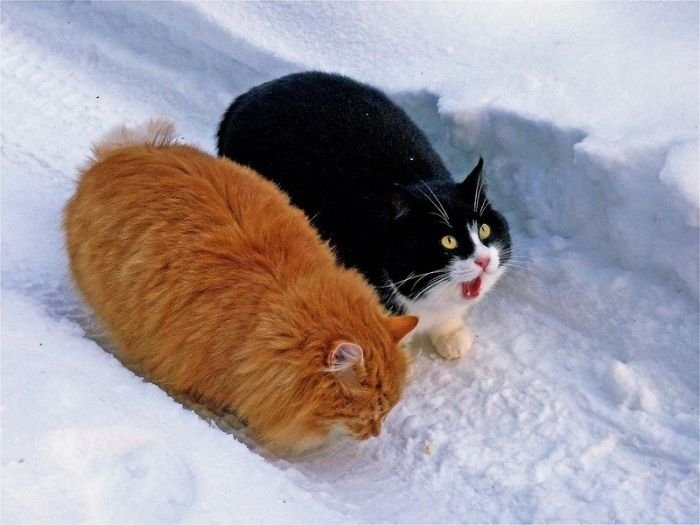 chubby-cats-09