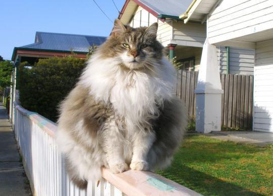 chubby-cats-12